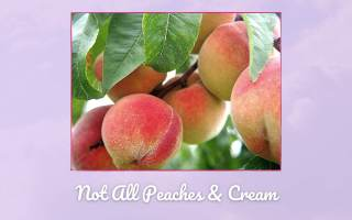 Not all Peaches and Cream Picture of peaches on the tree