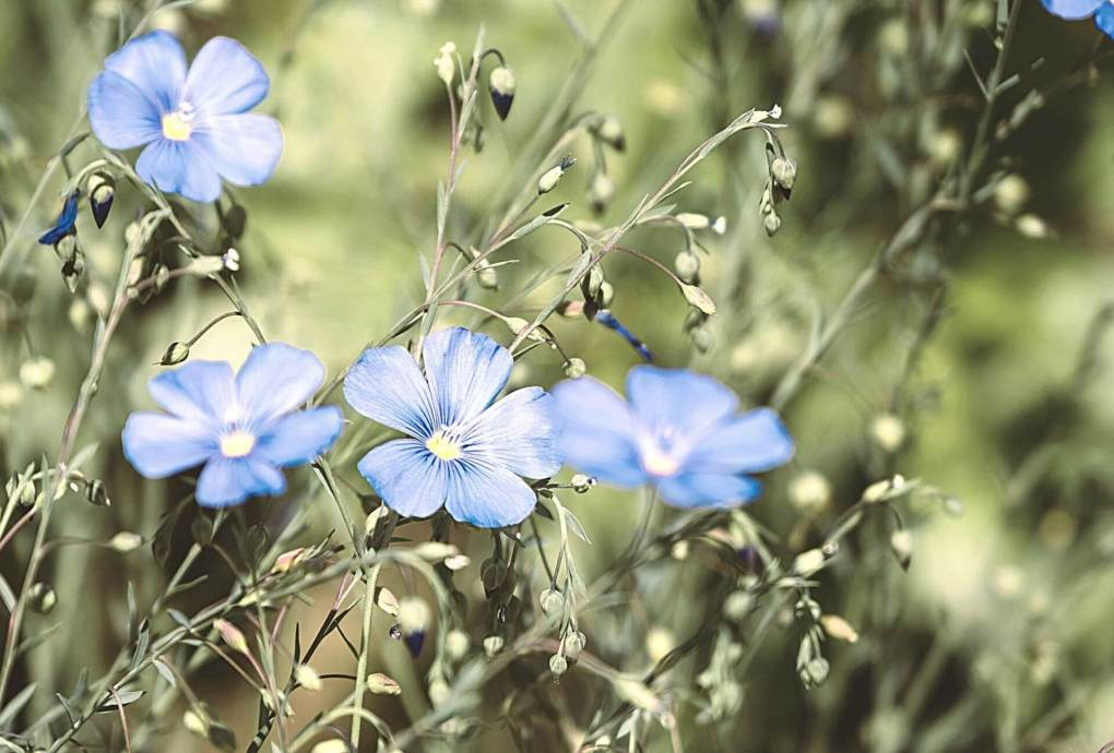 Picture of blue flax flowers