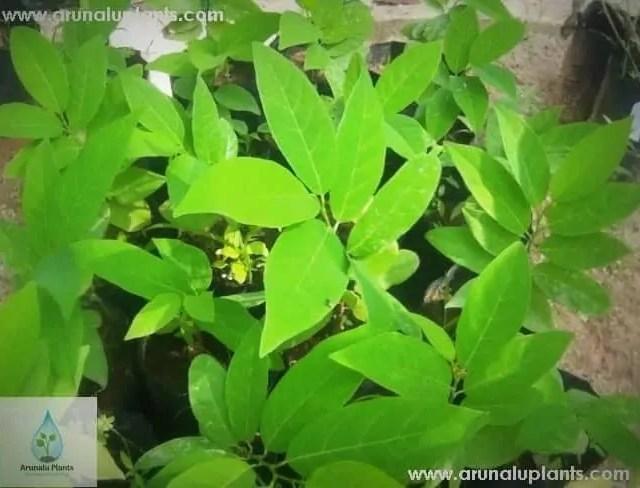 Seeni Anoda | Annona squamosa