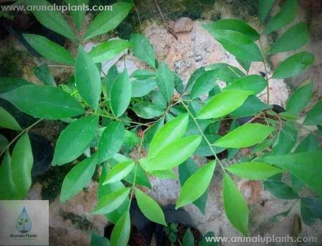 Bolpana | Glycosmis mauritiana