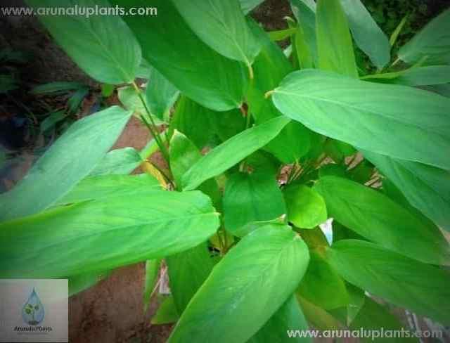 Hulankeeriya | Maranta arundinacea