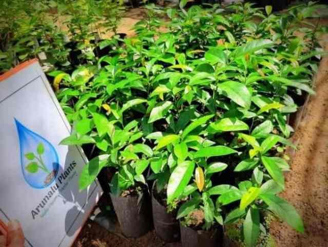 kaluwara plant