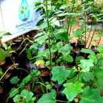 Wel Thibbatu | Solanum trilobatum