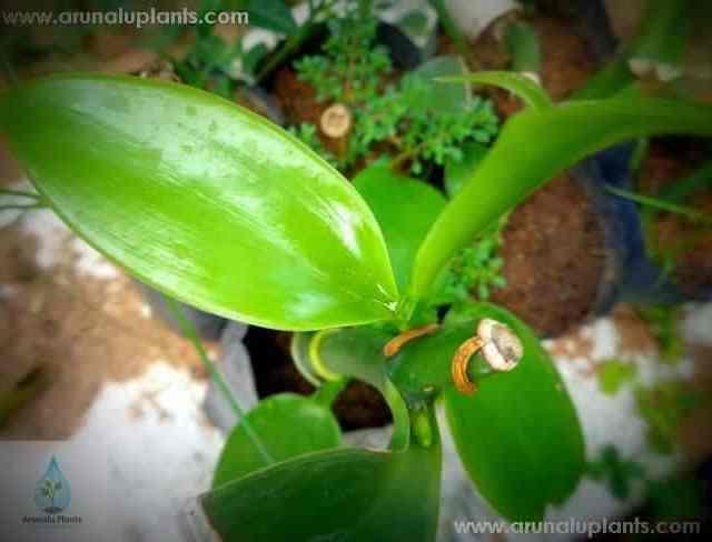 Vanilla | Vanilla planifolia