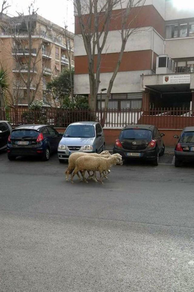 pecorelle-1