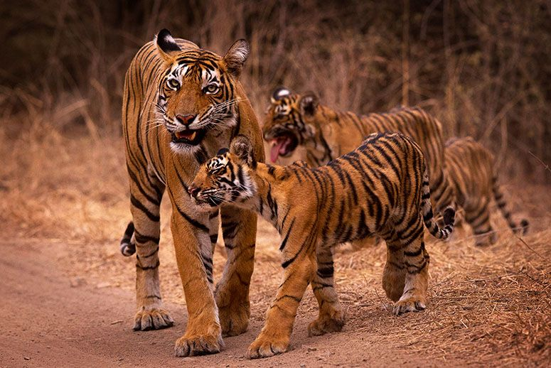 tour-golden-triangle-with-tigers