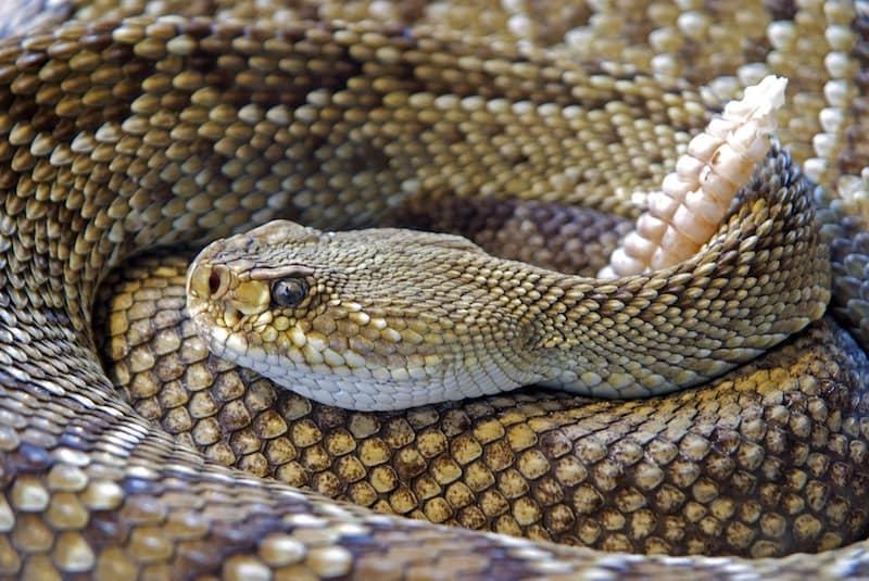 Snake emergency