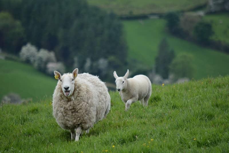 Sheep, but not in New Zealand