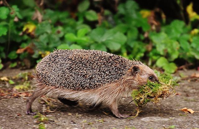 Hedgehog carrying moss