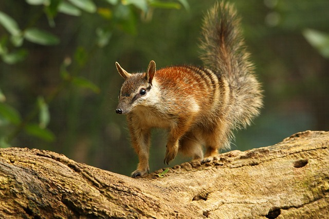 Numbat walking on a log.