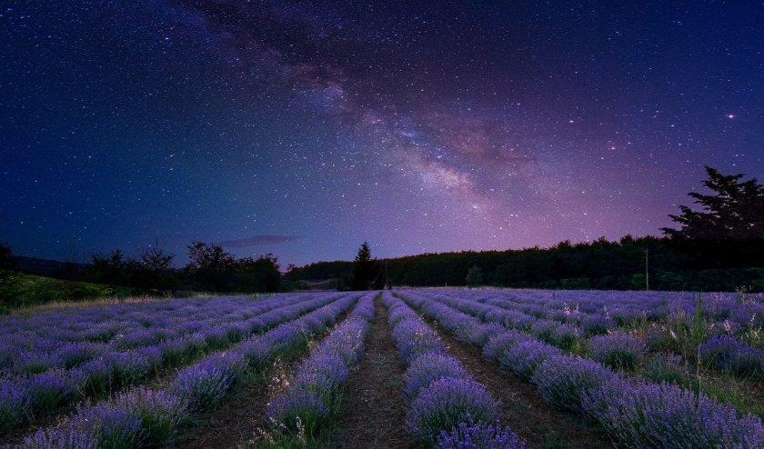 Lavender fields under the stars