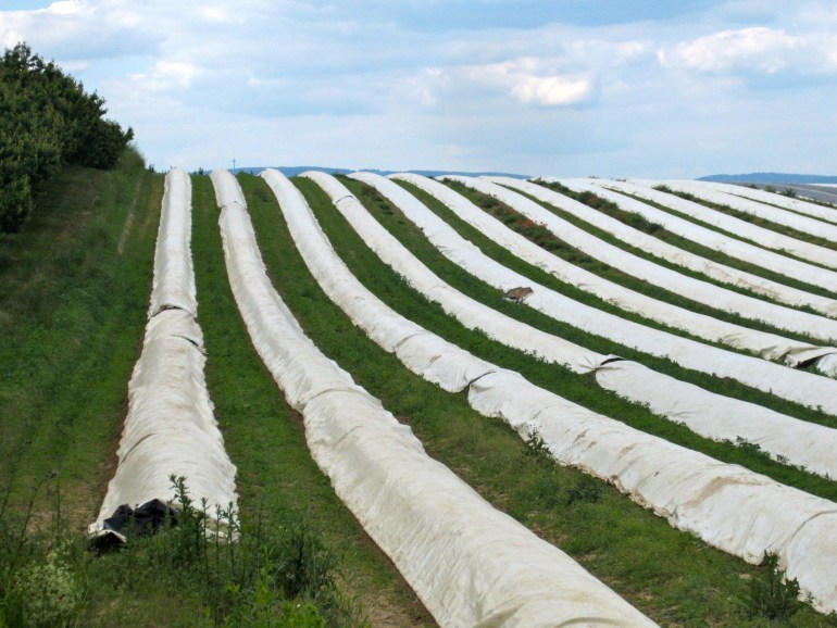 A covered crop of white asparagus awaiting harvest