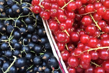 Red and blackcurrants in cardboard punnets
