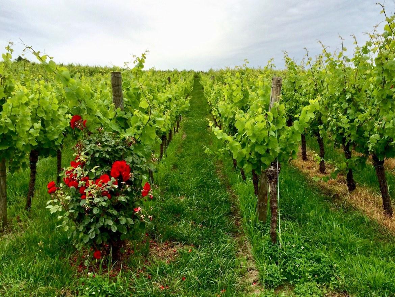 Vineyards in Cleebourg Alsace