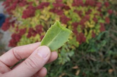 Fingers holding a bitten leaf of Sedum telephium
