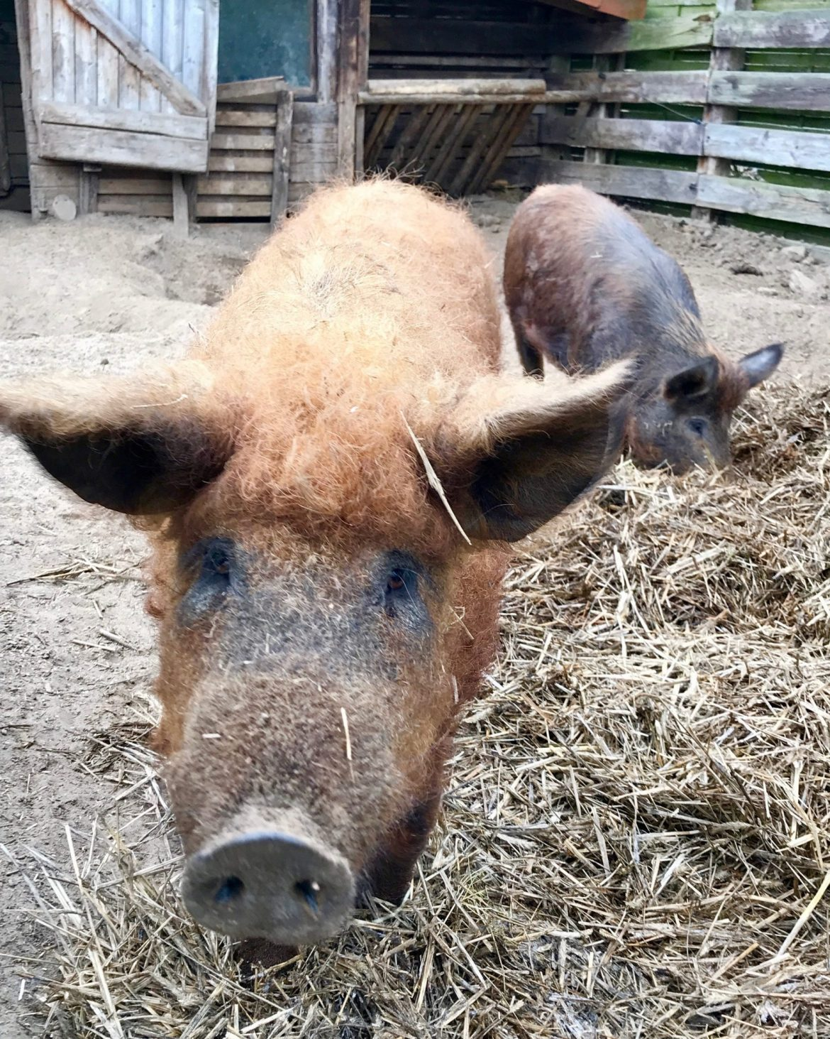 A fuzzy orange-haired Mantalitsa pig in his sty, another pig behind him