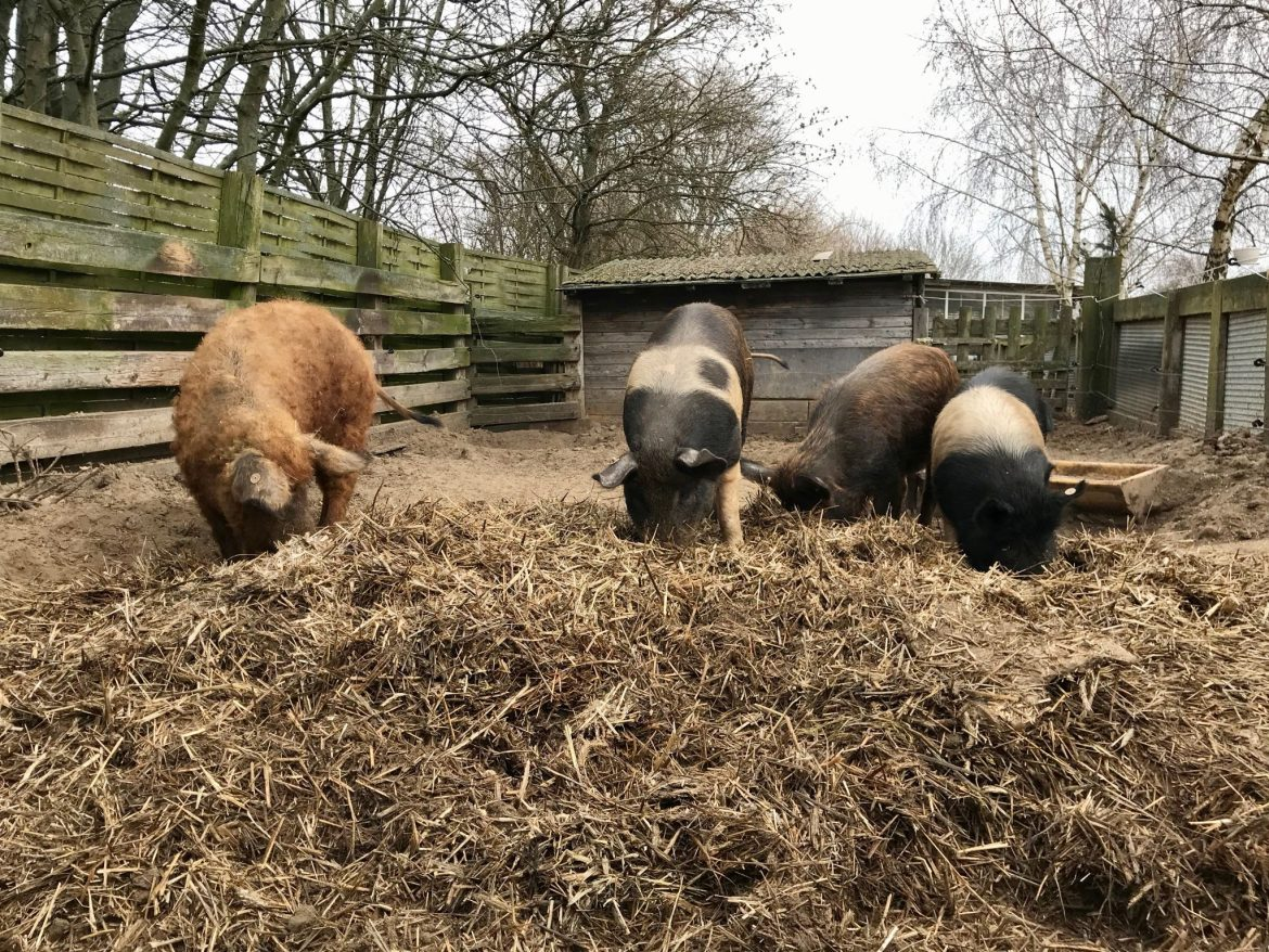 Four pigs in a sty, noses in hay