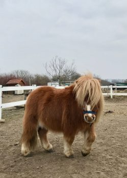 A shaggy chestnut pony in a paddock