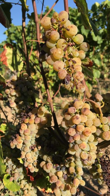 White grapes on the vine in a vineyard