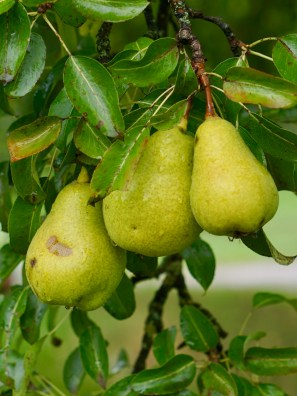 Close up of wet pears hanging on a tree