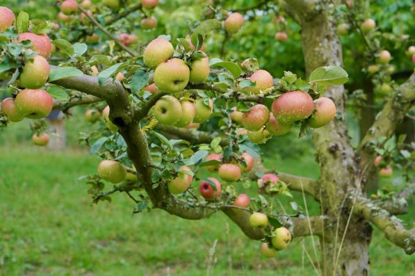A branch of red-green apples in an orchard
