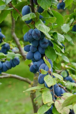 Plums hanging on a tree branch in an orchard