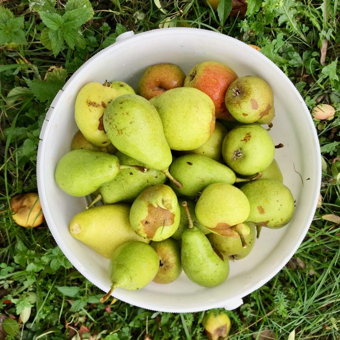 A white bucket of wet pears taken from above