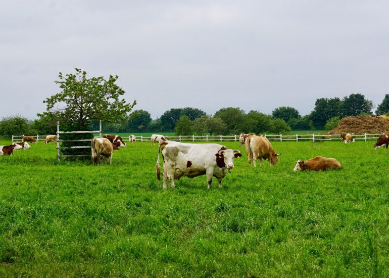 Brown and white cows in a field at Domäne Mechtildshausen