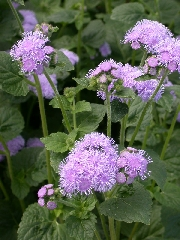 Ageratum - 2003 Cut Flowers of the Year