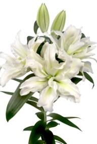 Aisha - Zabo Plant