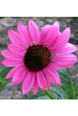 Echinacea Ruby Star 1 - 2006 Cut Flowers of the Year