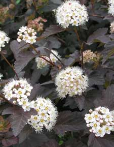 Physocarpus Diabolo - 2007 Cut Flowers of the Year