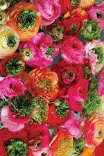Ranunculus Super Green - 2013 Cut Flowers of the Year