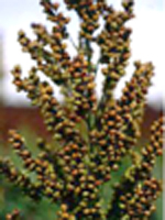 Sorghum bicolor upright sorghum - 2008 Cut Flowers of the Year
