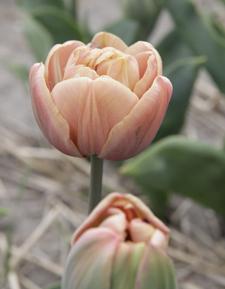 Tulip La Belle Epoque - 2017 Cut Flowers of the Year