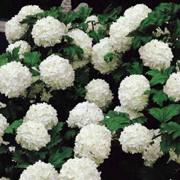 Viburnum Snowball - 2010 Cut Flowers of the Year