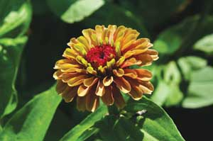 Zinnia Queen Red Lime - 2012 Cut Flowers of the Year