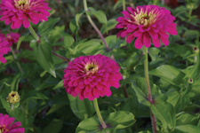 Zinnia Uproar Roseâ™ - 2009 Cut Flowers of the Year