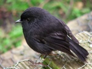 Black Robin on Rangatira Island