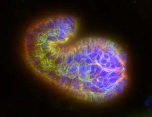 c elegans embryo