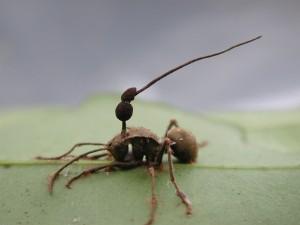 Cordyceps unilateralis
