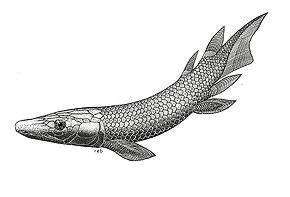 Saltwater Lungfish