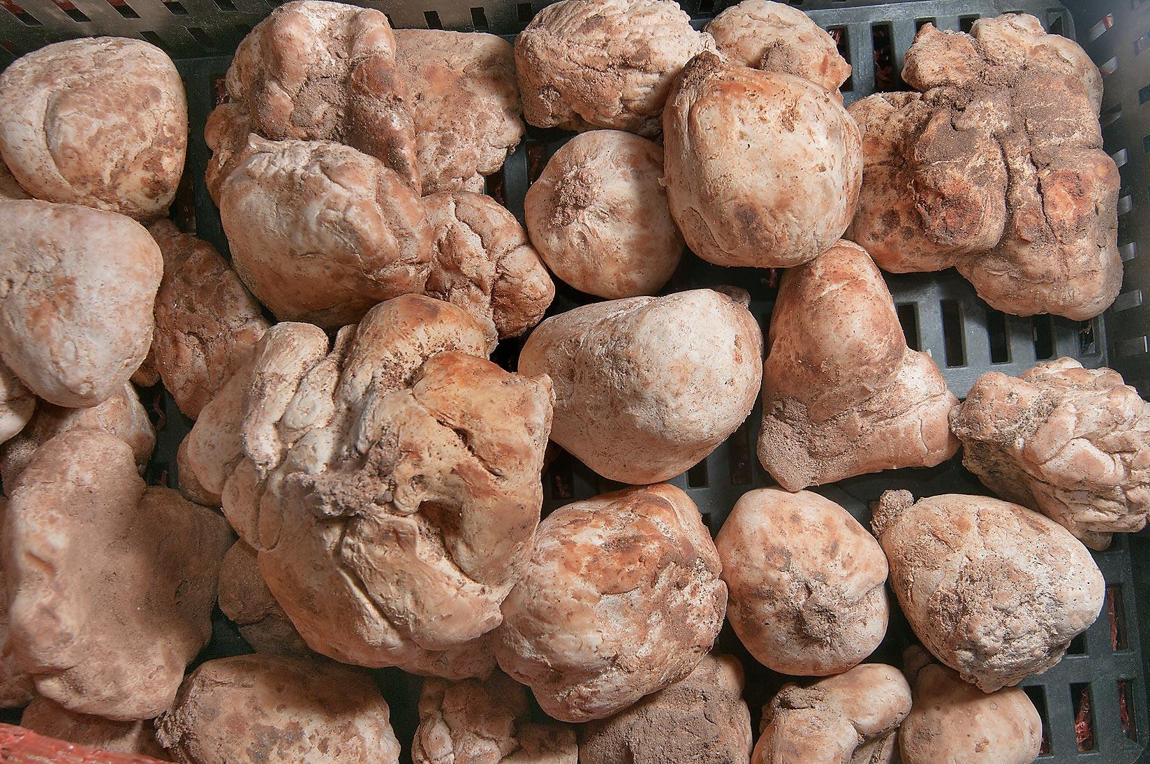 Photo 1016-14: Irregularly shaped desert truffles (faqah ...