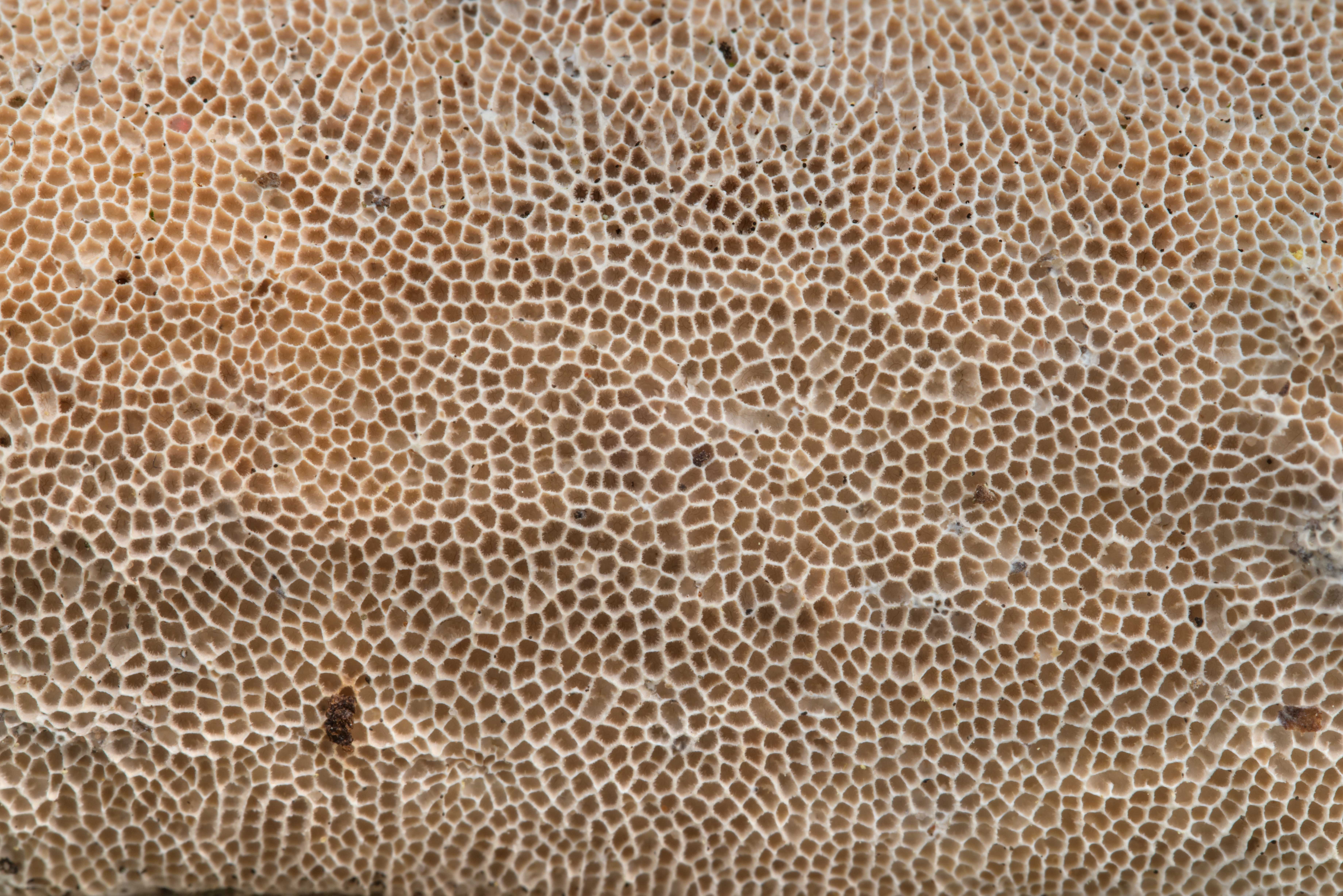 Keyword Photo 2234 27 Texture Of A Porous Mushroom Trametes