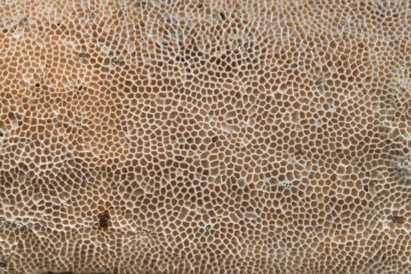 2234-27 Texture Of Porous Mushroom Trametes