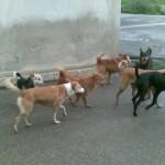 cani serramanna