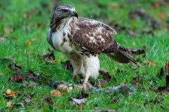 Immature Red-tailed Hawk 017