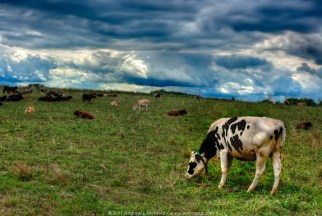 Clouds and Cows (2011)