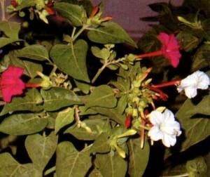 Khasiat Obat dan Manfaat dari Kembang Pukul Empat