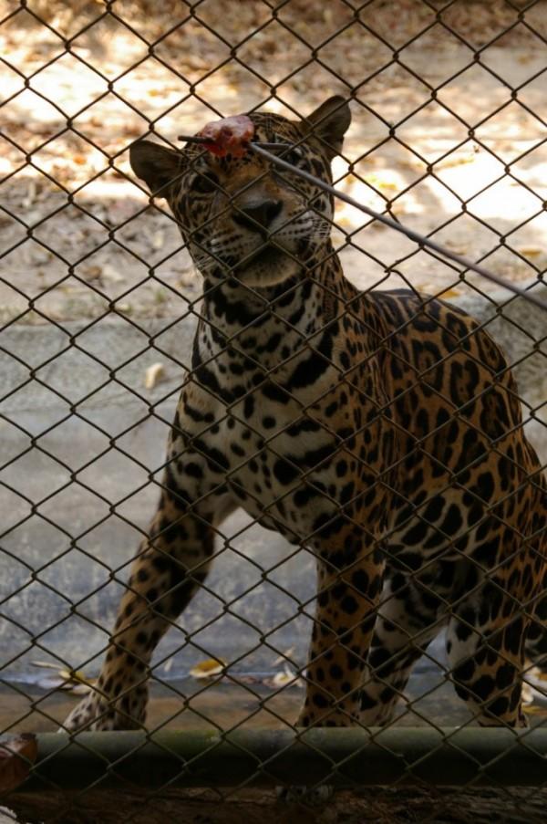 Japuar chiang mai zoo thailand